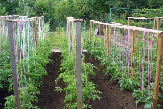 томат дворцовый подвязка