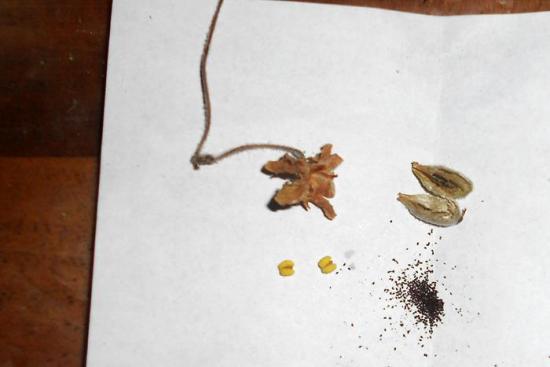 размножение виалки комнатной семенами