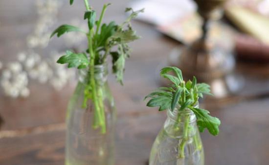 как прорастить хризантему