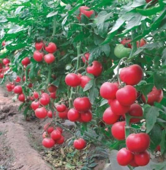 томаты Малиновый звон f1, отзывы