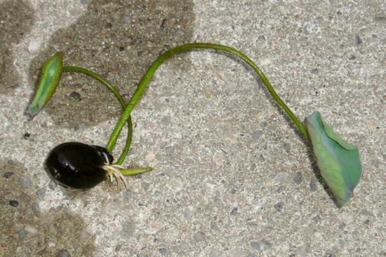 проращивание семян лотоса
