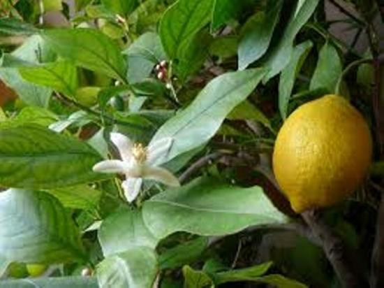 полив лимона во время цветения