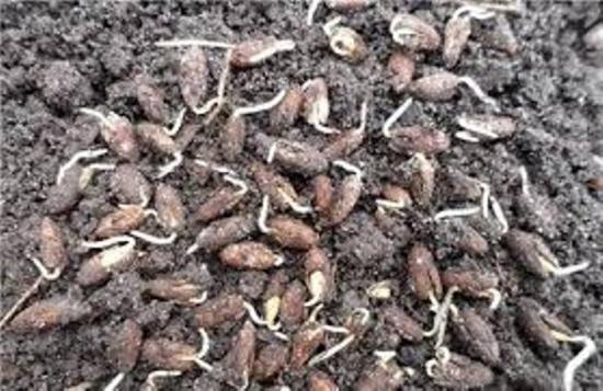 как вырастить кизил из семян
