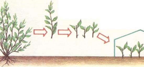 размножение кизила