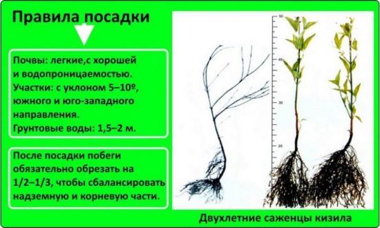 как посадить кизил