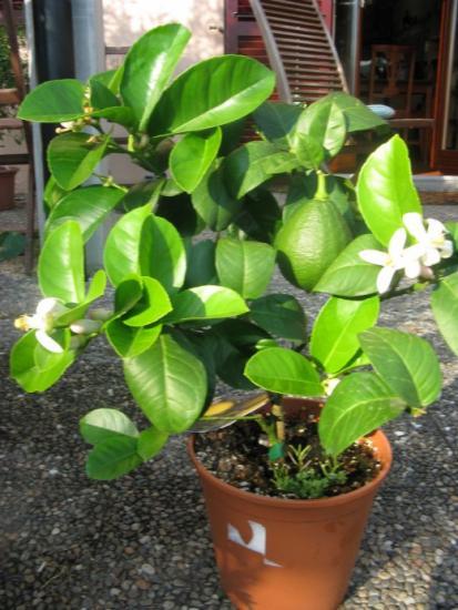 цветение лимона