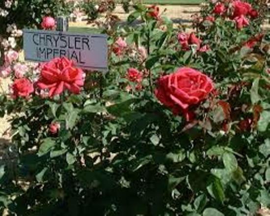 обрезка куста розы