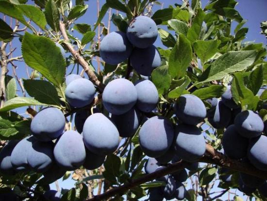 выращивание чернослива
