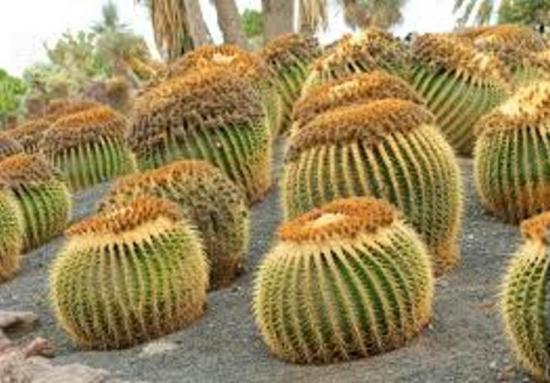 оригинальные кактусы