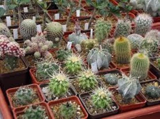 карликовые сорта кактусов