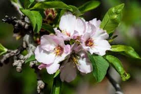 цветок миндаля