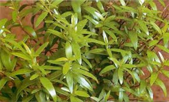 миротовые листья