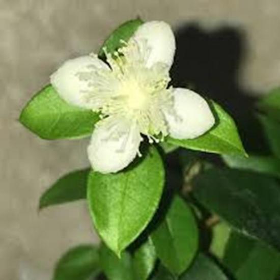 цветок мирта
