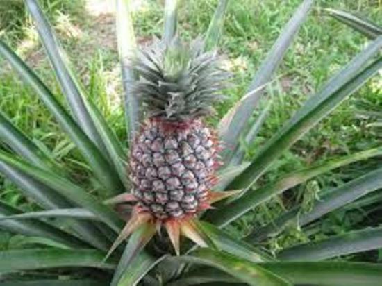 на чем растет ананас