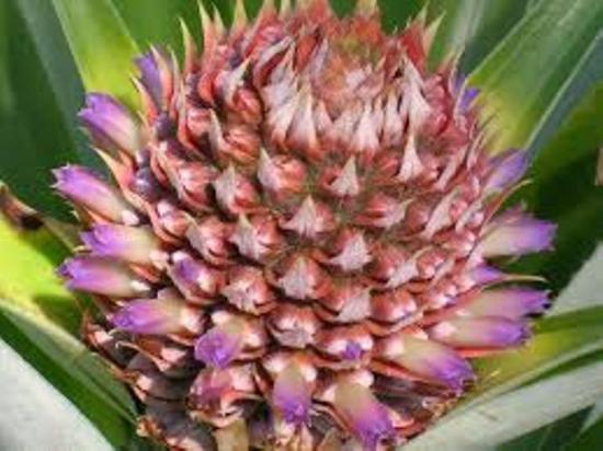 как цветет ананас