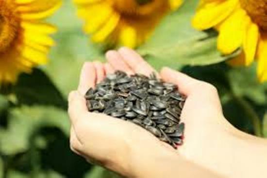 в чем польза семян подсолнуха