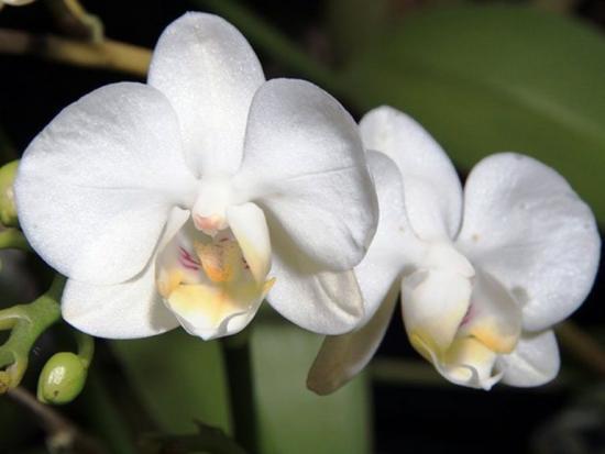 цветок фаленопсиса