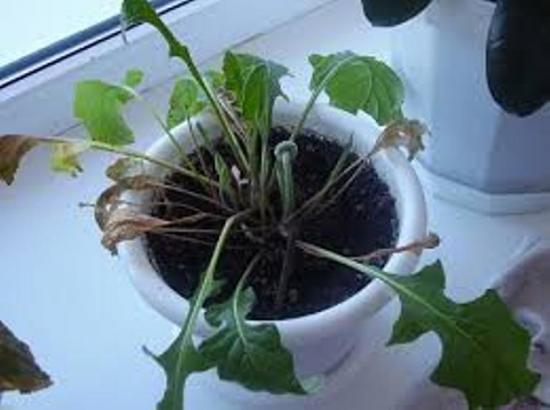 почему вянут листья у герберы