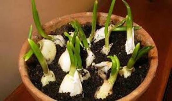 выращиване чеснока в цветочном гршке