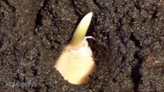 посадка чеснока