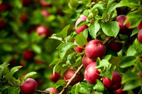 улучшение качества плодов в результате применения удобрений