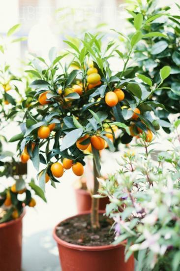 где растет апельсин
