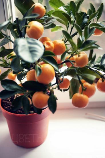 комнатный апельсин