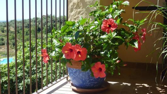 полезные свойства растения гибискус