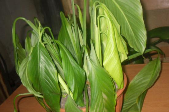 вянут листья на спатифиллуме