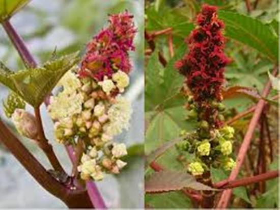 цветение рицины