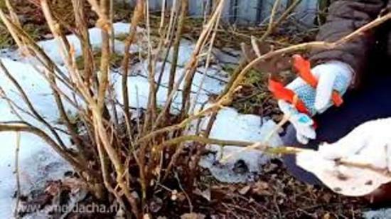 обрезка смородины весной