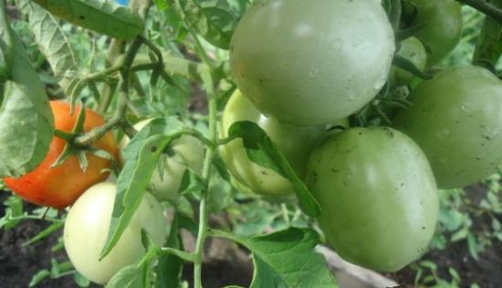блоки на снегу томат