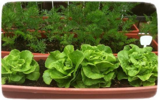 вырастить салат на подоконнике