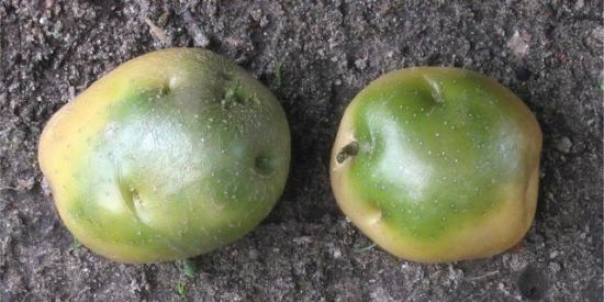 позеленевший картофель для посадки