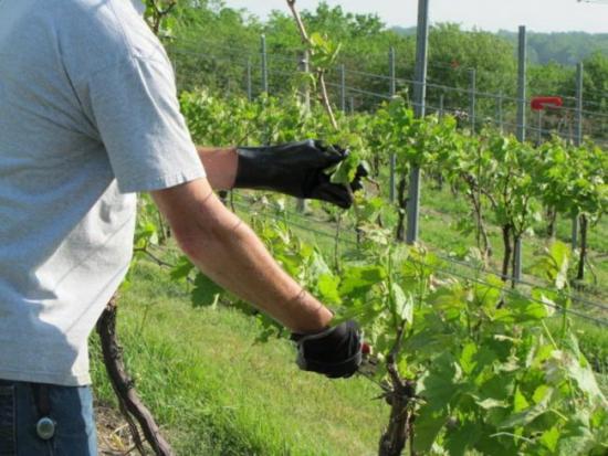 обработка винограда препаратом хорус