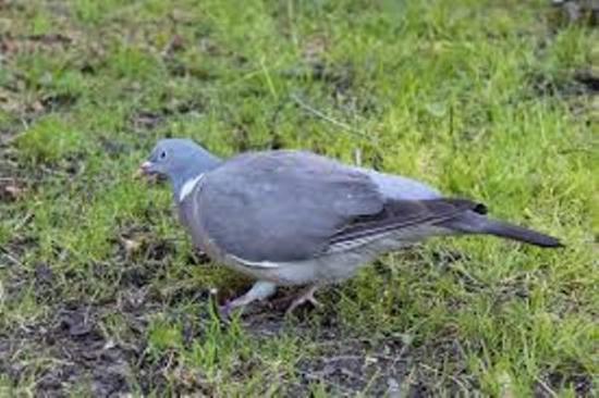 голуби - польза и вред