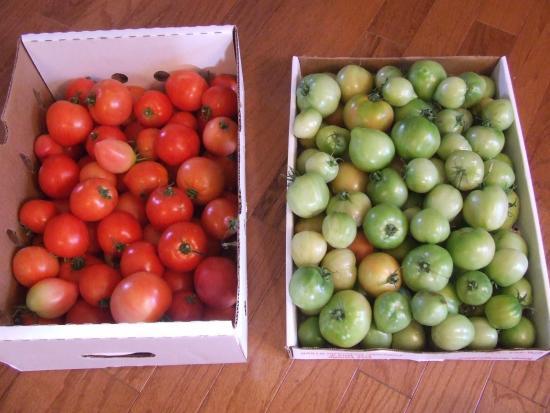 дозревание томатов в домашних ксловиях