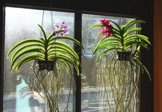 орхидеи требовательны к освещению