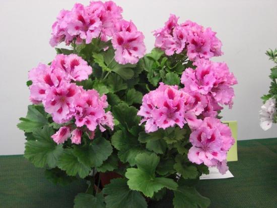 какие бывают комнатные цветы, Пеларгония