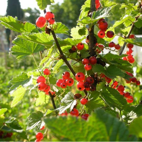 урожайность красной смородины