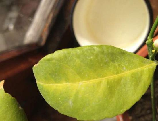 у лимона желтеют и опадают листья