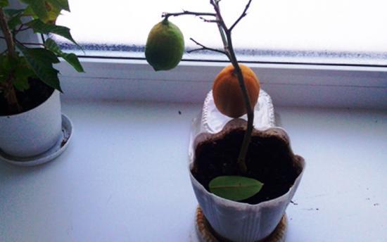 что делать, если опадают листья у лимона