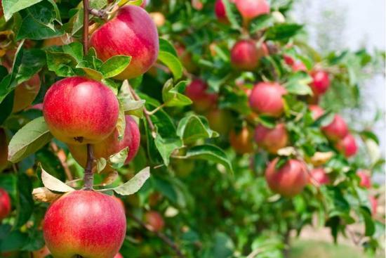 урожайность яблони вэм розовый
