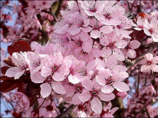цветет черемуха Шуберт