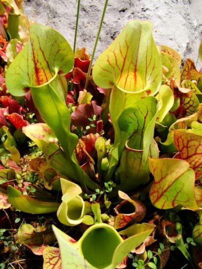 плотоядные растения