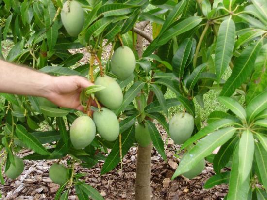 плодоношение манго