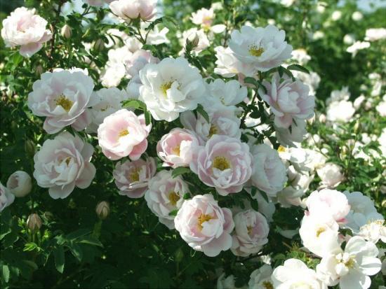 белые парковые розы