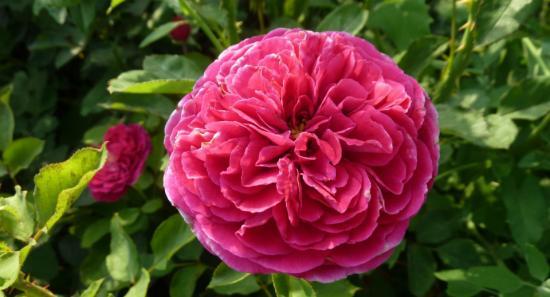 цветение парковых роз