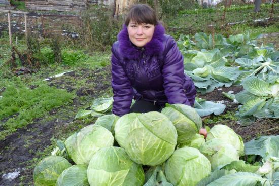 уборка урожая, где хранить капусту