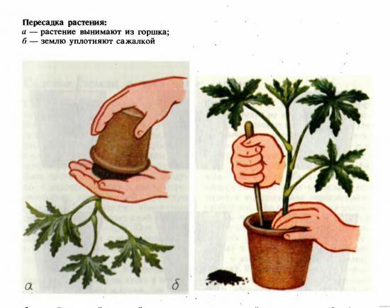пересадка цветов